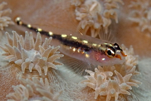 Striped pygmy-goby, Tulamben by Doug Anderson